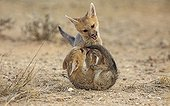 Young Cape foxes playing together South Africa