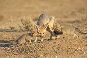 Cape fox bringing a rodent to feed its young South Africa