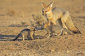 Young Cape Foxes fighting for a rodent RSA