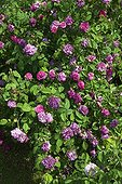 Climbing rose tree 'Hippolyte' in bloom in a garden