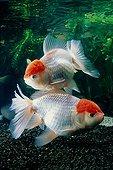 """Fish lions head """"red cap oranda tancho"""""""