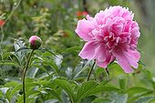 Peony flower and button in an organic garden France