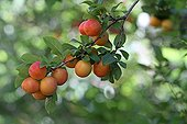 Mature plums on branch in their organic garden France