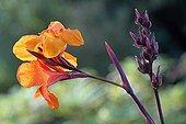 Fleurs et fruits de Canna dans un jardin botanique France