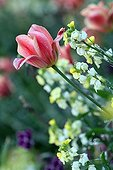 Wallflowers and tulip blossoms after rain in garden France
