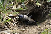 Young Field Cricket at the entrance to its burrow France