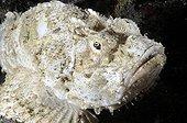 False stonefish around the island of Bali