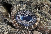 De Beaufort's crocodile flathead around the island of Bali