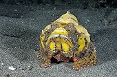 Flasher Scorpionfish around the island of Bali Indonesia