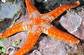 Peppermint sea star in the Indian Ocean around Bali