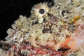 Scorpionfish in Indian ocean around Bali Indonesia