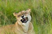 Grimacing lion in the savannah Masai Mara Kenya