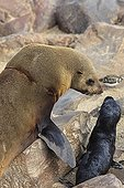 Cape fur seals  and her young in Namibia ; Trace a net around his neck. This sea lion had the chance to get rid of the mesh that strangled. She was then able to reproduce.
