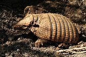 Male six banded armadillo on earth Touroparc France
