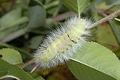 Tussock caterpillar in  last stage Cipières France