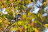 Black-fronted Nunbird on a branch Pantanal in Brazil