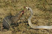 Indian mongoose against a gray Indian Cobra in India
