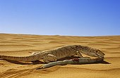 Desert Monitor eating a Sand Viper in Mauritania