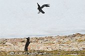 Raven and Arctic Fox arguing Greenland