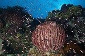 Barrel sponge Calusa rise Archipelago Cagayan