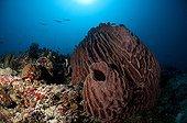 Barrel sponge Calusa rise Archipelago Cagayan Philippines