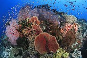 Busy coral reef with hard and soft corals and Sea goldies