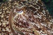 Broadclub Cuttlefish Bloombog  Archipelago Cagayan