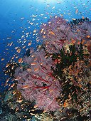 Colorful coral reef covered with gorgonian sea fans Fiji  ; Branching cup corals and Scalefin anthias fish feeding in the current.