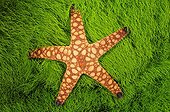Sea star on green algae Fiji