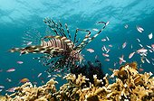 Lionfish over the reef Sipalay Philippines