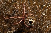 Brittle star on colonial ascidian Sipalay Philippines
