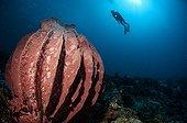 Barrel sponge and diver Cagayancillo Archipelago Cagayan