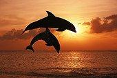 Bottlenose Dolphins jumping at dusk Caribbean Sea Honduras