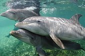 Bottlenose Dolphins swimming in the Caribbean Sea Honduras
