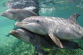 Grands dauphins nageant dans la mer Caraïbes au Honduras