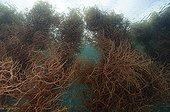 Cotoni Seaweed farming in Cagayancillo Archipelago Cagayan