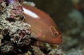 Arc-eye hawkfish on reef Comoros
