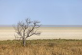 Dead tree at the edge of the Etosha Pan Namibia