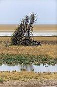 Acacia overthrown by an Elephant Etosha Pan Namibia