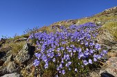 Round-leaved campanula Cap Greg Greenland