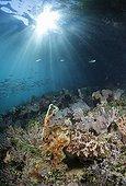 Broadclub Cuttlefish in Pacific ocean in Indonesia