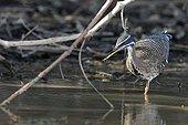 Sunbittern wading Pantanal Brazil