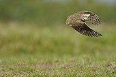 Burrowing Owl flying Pantanal Brazil