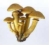 Big laughing mushrooms in studio