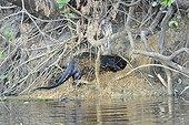Loutre géante entrant dans son terrier Pantanal Brésil