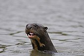 Portrait of giant otter in water Pantanal Brazil