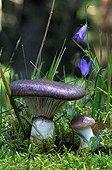 Slimy spike caps in undergrowth