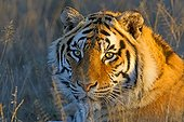 Portrait of Bengal Tiger lying in the grass