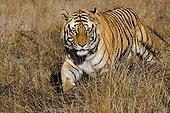 Bengal Tiger walking in grass