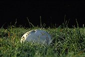 Giant puffball in a meadow